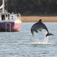 Dolphins are a common sight as they feed, frolic and flip in the waters along the Crystal Coast.  (Photo by Dan Williams)